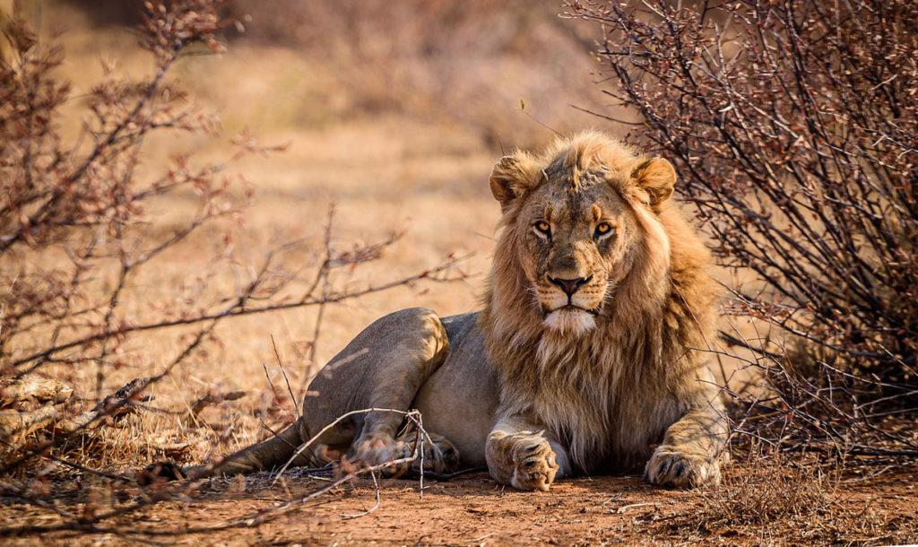 лев, Парк Крюгер, путешествие по Африке